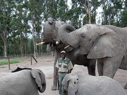Wer ist hier der Chef? - Knynsa Elephant Park