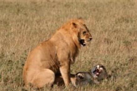 Nach dem Geschlechtsakt faucht das Weibchen - Masai Mara Safari