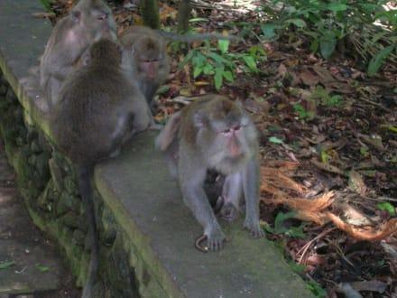 Affen in Ubud - Affenwald Ubud