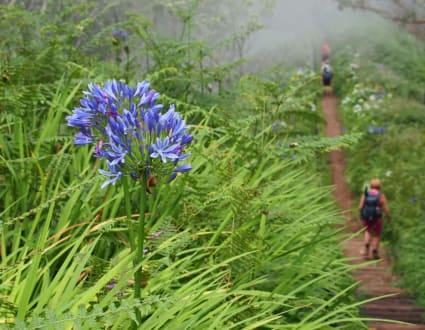 Afrikanische Lilie - Madeira Wandern mit Christa