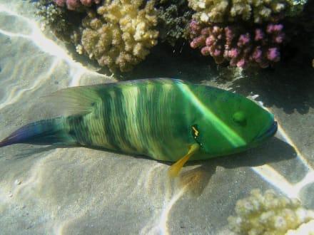 Fisch - Tauchen Makadi Bay