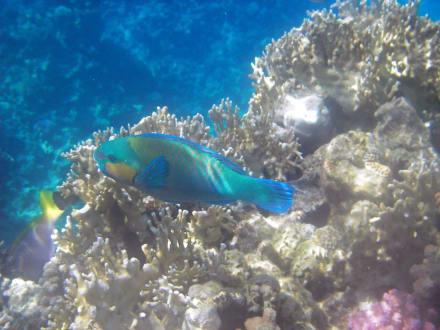 Papageifisch - Schnorcheln Sharm el Sheikh
