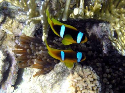 Anemonenfische - Schnorcheln Makadi Bay