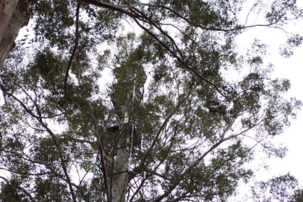 Der 60m Baum auf einem Foto - Gloucester National Park