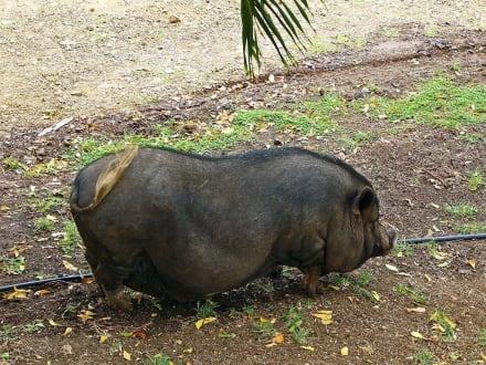 ,,Schwein gehabt''! - Curacao - Safari - Tour