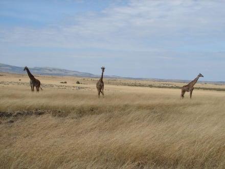 Giraffen - Masai Mara Safari