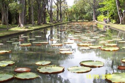 berühmtes Fotomotiv: riesige Seerosen - Sir Seewoosagur Ramgoolam Botanical Garden / Pamplemousses Botanical Garden