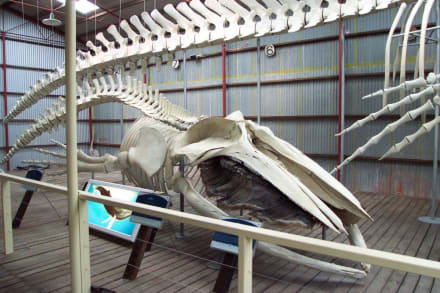 Skelett eines Buckelwales - Whale World Albany