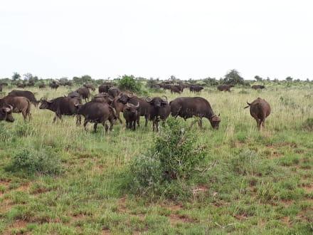 Büffel - Tsavo Ost und West Safari