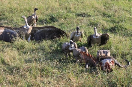 Natuurreservaat/dierentuin - Masai Mara Safari