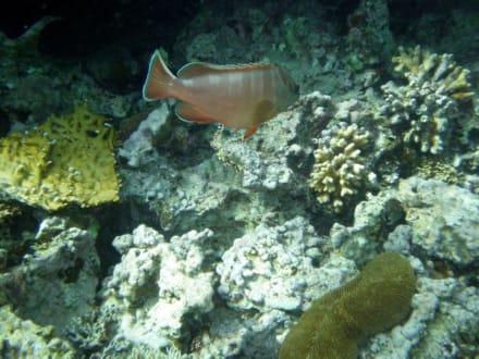 Fische - Tauchen Taba