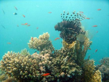 Rotfeuerfisch am Hausriff - Tauchen Brayka Bay Marsa Alam