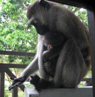 Affe mit Jungem auf Balkon - Hotel Diani Sea Resort