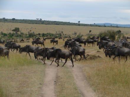 Weissbartgnus - Masai Mara Safari