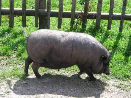 Hängebauchschwein auf der Halseralm - Halseralm