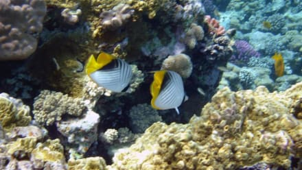 Riesenfalterfisch - Schnorcheln Makadi Bay