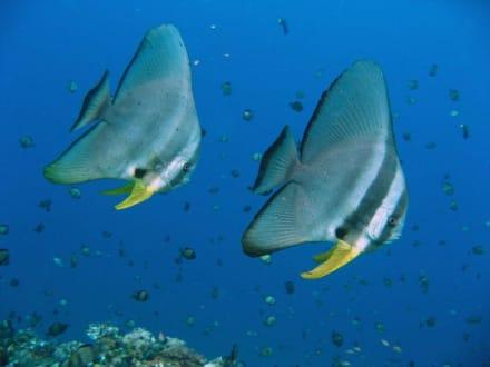 Fledermausfische - Tauchen Tulamben