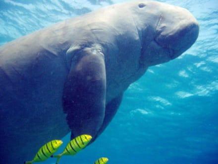 Seekuh (Dugong) - Tauchen El Quseir