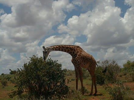 Mittagspause - Tsavo Ost Nationalpark