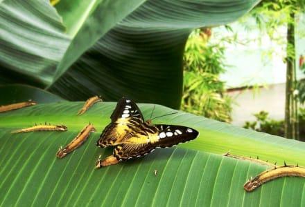 Raupen schmetterlingsfarm Trassenheide - Schmetterlingsfarm