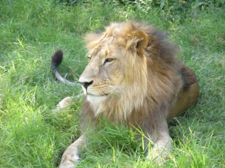 Löwe - Kimana Reservat