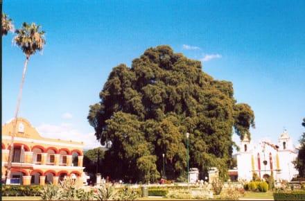 Heiliger Baum in Tule - Baum von Tule