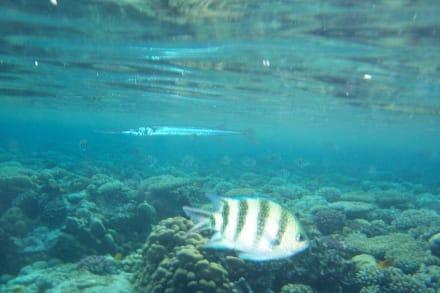 Trompetenfisch? - Schnorcheln Sharm el Sheikh