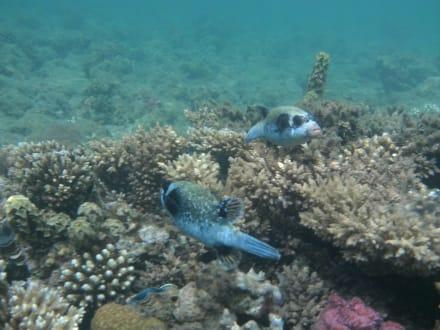 Maskenkugelfische - Schnorcheln Makadi Bay