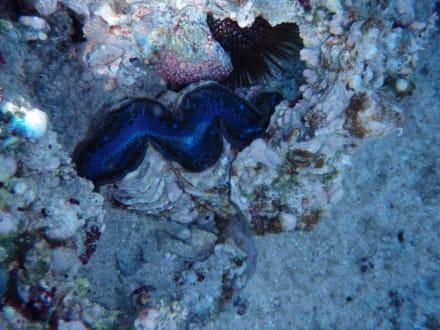 Koralle, Muschel - Schnorcheln Hausriff Radisson Resort El Quseir