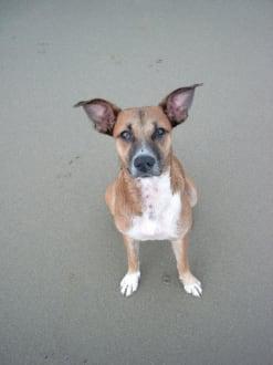 Hund Strand Cabarete - Playa Cabarete