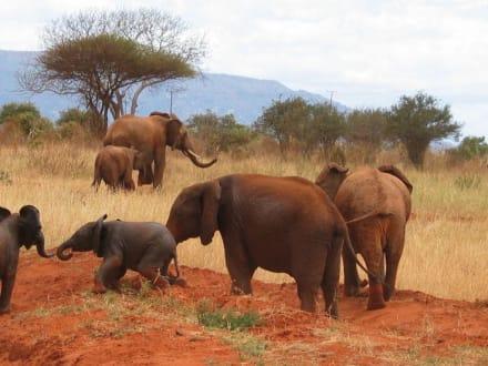 Elefantenherde - Tsavo Ost Nationalpark