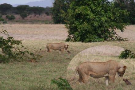 Löwe mit Babywarzenschwein - Tsavo Ost Nationalpark