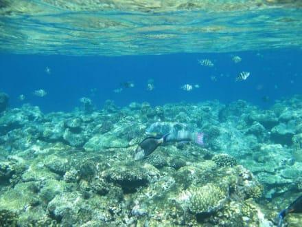 Unterwasserwelt - Schnorcheln Hausriff Utopia Beach El Quseir