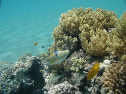 Rotes Meer, Picassodrücker - Tauchen Makadi Bay