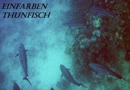 Thunfische - Schnorcheln Marsa Alam