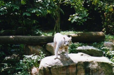 White Tiger - Singapur Zoo