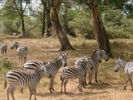 Zebras im Tsavo West - Tsavo West Nationalpark