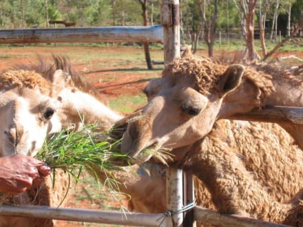Füttern der Kamele - Camel Farm