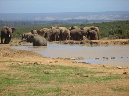 Am Wasserloch - Addo Elephant Park