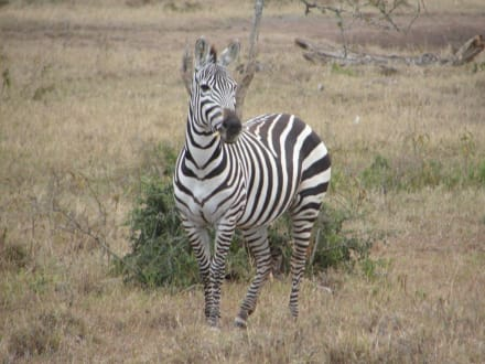 Zebra - Amboseli Nationalpark
