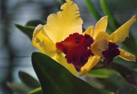 Orchidee in einer Orchideenfarm in der Nähe von Chiang Mai - Orchideenfarmen