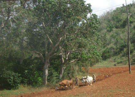 Landwirtschaft - Vinales Tal