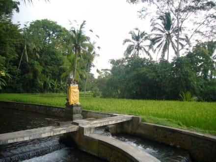 Reisterrassen von Ubud - Reisterrassen