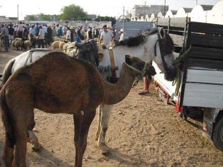 Kamelmarkt - Kamelmarkt Nabeul
