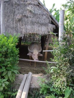 Wasserbüffel - Inle See