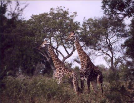 Ein Giraffen-Pärchen - Krüger Nationalpark