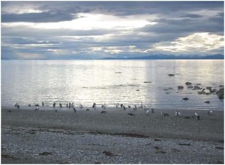 Pinguine am Seno Otway - Naturschutzgebiet Seno Otway