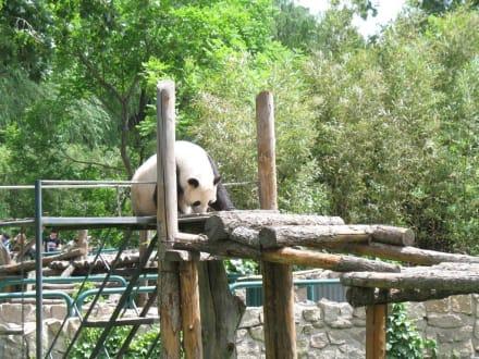 Panda - Peking Zoo