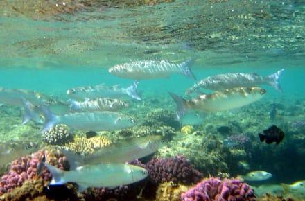 Stumpfmaul-Meeräschen - Hausriff Hotel Lahami Bay Berenice