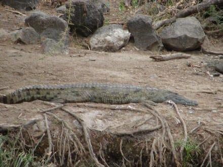 Krokodil - Tsavo West Nationalpark